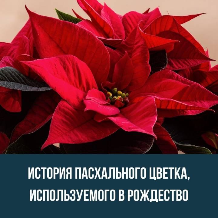 История пасхального цветка, используемого в Рождество